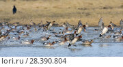Купить «Wigeon (Anas penelope) flock, panicked while grazing by a passing raptor, landing on flooded marshland, Gloucestershire, UK, February.», фото № 28390804, снято 22 июня 2018 г. (c) Nature Picture Library / Фотобанк Лори