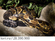 Купить «Timber rattlesnake (Crotalus horridus) with babies aged two days, part of a captive breeding and release programme, Roger Williams Park Zoo.», фото № 28390900, снято 22 июля 2018 г. (c) Nature Picture Library / Фотобанк Лори