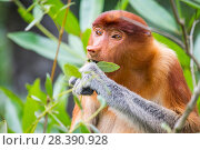 Купить «Proboscis monkey (Nasalis larvatus) female feeding, Kinabatangan River, Sabah, Borneo.», фото № 28390928, снято 14 августа 2018 г. (c) Nature Picture Library / Фотобанк Лори