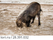 Bearded Pig (Sus barbatus) digging for crabs. Borneo. Стоковое фото, фотограф Paul Williams / Nature Picture Library / Фотобанк Лори