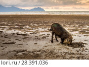 Bearded Pig (Sus barbatus) digging for crabs. Borneo. Small repro only. Стоковое фото, фотограф Paul Williams / Nature Picture Library / Фотобанк Лори