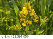 Купить «Yellow loosestrife (Lysimachia vulgaris), among Common Reed (Phragmites australis), Het Goor Asbroek, Belgium, June.», фото № 28391056, снято 20 июля 2018 г. (c) Nature Picture Library / Фотобанк Лори