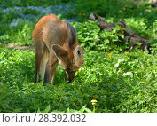 Купить «Maned wolf (Chrysocyon brachyurus) in meadow», фото № 28392032, снято 8 мая 2018 г. (c) Валерия Попова / Фотобанк Лори