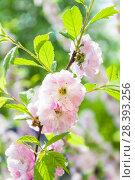 Купить «Цветущий миндаль трехлопастный (Prunus triloba)», фото № 28393256, снято 9 мая 2018 г. (c) Алёшина Оксана / Фотобанк Лори