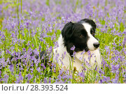 Купить «Border Collie dog lieing amongst bluebells in the Lake District, England, UK. May.», фото № 28393524, снято 24 сентября 2018 г. (c) Nature Picture Library / Фотобанк Лори