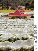 Купить «Vineyard with vines covered with netting to protect them  from birds. Buxton Ridge, Victoria, Australia», фото № 28393564, снято 26 мая 2018 г. (c) Nature Picture Library / Фотобанк Лори