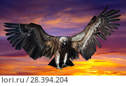 Flying eagle against dawn. Стоковое фото, фотограф Яков Филимонов / Фотобанк Лори