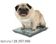 Купить «Fat Pug dog weighting on floor scales», фото № 28397996, снято 18 марта 2018 г. (c) Алексей Кузнецов / Фотобанк Лори