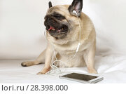 Купить «Purebred pug dog in headphones laying in bed», фото № 28398000, снято 18 марта 2018 г. (c) Алексей Кузнецов / Фотобанк Лори
