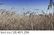 Купить «Field of golden ripe wheat ready to be harvested in summer sunny day», видеоролик № 28401296, снято 8 мая 2008 г. (c) Куликов Константин / Фотобанк Лори