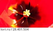 Купить «Пестик и тычинки красного тюльпана, макро», фото № 28401504, снято 9 мая 2018 г. (c) Екатерина Овсянникова / Фотобанк Лори