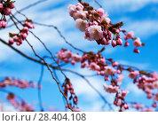 Купить «Веточки цветущей сакуры. Королевский парк. Стокгольм. Швеция», фото № 28404108, снято 30 апреля 2018 г. (c) Сергей Афанасьев / Фотобанк Лори
