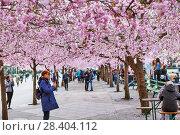 Купить «Аллея цветущей сакуры в Королевском парке. Стокгольм. Швеция», фото № 28404112, снято 30 апреля 2018 г. (c) Сергей Афанасьев / Фотобанк Лори