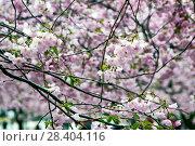 Купить «Веточки цветущей сакуры. Королевский парк. Стокгольм. Швеция», фото № 28404116, снято 30 апреля 2018 г. (c) Сергей Афанасьев / Фотобанк Лори