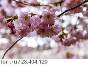 Купить «Веточки цветущей сакуры. Королевский парк. Стокгольм. Швеция», фото № 28404120, снято 30 апреля 2018 г. (c) Сергей Афанасьев / Фотобанк Лори