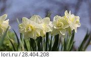 Купить «White narcissus (Narcissus poeticus)», видеоролик № 28404208, снято 5 мая 2018 г. (c) Ольга Сейфутдинова / Фотобанк Лори