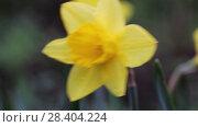 Купить «Желтые нарциссы Yellow daffodils (Narcissus poeticus)», видеоролик № 28404224, снято 5 мая 2018 г. (c) Ольга Сейфутдинова / Фотобанк Лори
