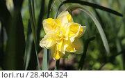 Купить «Желтые нарциссы Yellow daffodils (Narcissus poeticus)», видеоролик № 28404324, снято 12 мая 2018 г. (c) Ольга Сейфутдинова / Фотобанк Лори