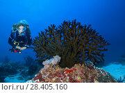 Купить «Female scuba diver looks at soft coral - Black Sun Coral (Tubastraea micranthus)», фото № 28405160, снято 24 марта 2018 г. (c) Некрасов Андрей / Фотобанк Лори