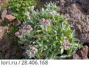 Купить «Бессмертник своенравный (Helichrysum devium)», фото № 28406168, снято 22 февраля 2018 г. (c) Ирина Яровая / Фотобанк Лори