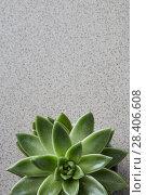 Купить «Green plant Echeveria on a gray stone background top view», фото № 28406608, снято 5 апреля 2018 г. (c) Ярослав Данильченко / Фотобанк Лори