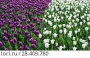 Купить «There are many lilac and white tulips in flowerbed», видеоролик № 28409780, снято 14 мая 2018 г. (c) Володина Ольга / Фотобанк Лори