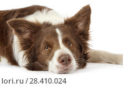 Купить «Portrait of Collie border dog over white background», фото № 28410024, снято 26 апреля 2018 г. (c) Алексей Кузнецов / Фотобанк Лори