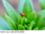 Купить «Лилейная трещалка (Lilioceris lilii) Scarlet Lily Beetle (Lilioceris lilii) adult, on lily leaf in garden», фото № 28410056, снято 4 мая 2018 г. (c) Ольга Сейфутдинова / Фотобанк Лори