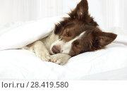 Купить «Adorable Border Collie dog lying on a bed under blanket», фото № 28419580, снято 26 апреля 2018 г. (c) Алексей Кузнецов / Фотобанк Лори