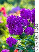 Купить «Флокс (Phlox). Группа цветущих растений», фото № 28421092, снято 13 августа 2017 г. (c) Ольга Сейфутдинова / Фотобанк Лори