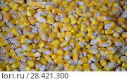 Купить «Кукуруза в зернах», видеоролик № 28421300, снято 16 мая 2018 г. (c) FMRU / Фотобанк Лори