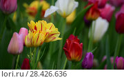 Купить «Tulips of different colors and gardens in flowerbed», видеоролик № 28426636, снято 15 мая 2018 г. (c) Володина Ольга / Фотобанк Лори