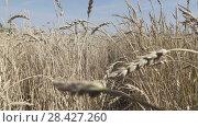 Купить «The camera moves on field of golden ripe wheat ready to be harvested in summer sunny day», видеоролик № 28427260, снято 14 мая 2008 г. (c) Куликов Константин / Фотобанк Лори