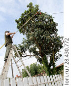 Купить «Pruning of a fruit tree, eriobotrya japonica, with a pruner's tool for cutting branches touching electric pole. Security work and care», фото № 28430772, снято 20 октября 2017 г. (c) age Fotostock / Фотобанк Лори