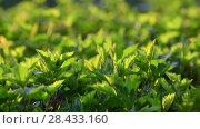 Young leaves of bush in backlight. Стоковое видео, видеограф Володина Ольга / Фотобанк Лори