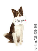 """Купить «Collie border dog with card """"I love you"""" in her mouth», фото № 28439808, снято 26 апреля 2018 г. (c) Алексей Кузнецов / Фотобанк Лори"""