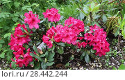 Купить «rhododendron (Rhododendron 'Small Wonder', Rhododendron Small Wonder), cultivar Small Wonder. Close-up of red rhododendron blossoms in the garden in spring. Catawba Rhododendron Cultivar (Rhododendron catawbiense)», видеоролик № 28442244, снято 19 мая 2018 г. (c) Ольга Сейфутдинова / Фотобанк Лори