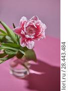Купить «A blossoming tulip flower in a glass vase on a pink background», фото № 28443484, снято 20 апреля 2018 г. (c) Ярослав Данильченко / Фотобанк Лори