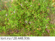 Купить «Nama sage (Salvia namaensis) is a shrub native to Namibia and South Africa. Flowers and leaves detail.», фото № 28448936, снято 25 января 2018 г. (c) age Fotostock / Фотобанк Лори