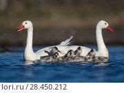 Купить «RF -  Coscoroba swan (Coscoroba coscoroba) pair with chicks on water La Pampa, Argentina», фото № 28450212, снято 17 июля 2018 г. (c) Nature Picture Library / Фотобанк Лори