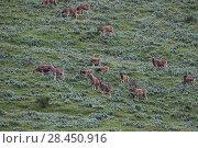 Купить «White-lipped deer (Cervus albirostris) Sanjiangyuan National Nature Reserve, Qinghai Hoh Xil UNESCO World Heritage Site, Qinghai-Tibet Plateau, Qinghai Province, China.», фото № 28450916, снято 15 июля 2019 г. (c) Nature Picture Library / Фотобанк Лори