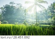 Купить «Tegalalang rice terrace, Bali, Indonesia», фото № 28451092, снято 19 марта 2018 г. (c) Iakov Kalinin / Фотобанк Лори