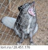 Купить «Широко зевающий серый пушистый песец сидит за решеткой в клетке мини зоопарка», фото № 28451176, снято 6 мая 2018 г. (c) Наталья Николаева / Фотобанк Лори