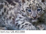 Купить «Snow leopard (Panthera uncia) cub age three months, captive.», фото № 28453888, снято 22 июля 2018 г. (c) Nature Picture Library / Фотобанк Лори