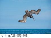 Купить «Brown pelican (Pelecanus occidentalis) diving, Urvina Bay, Isabela Island, Galapagos», фото № 28453908, снято 23 июля 2019 г. (c) Nature Picture Library / Фотобанк Лори
