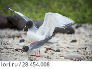 Купить «Swallow-tailed gull (Creagrus furcatus) Genovesa Island, Galapagos», фото № 28454008, снято 23 июля 2019 г. (c) Nature Picture Library / Фотобанк Лори