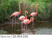 Купить «American flamingo (Phoenicopterus ruber) group of four at water's edge, Punta Moreno, Isabela Island, Galapagos», фото № 28454036, снято 16 августа 2018 г. (c) Nature Picture Library / Фотобанк Лори