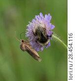 Купить «Moth (Chersotis cuprea) on field scabious with bumblebee, Finland», фото № 28454116, снято 19 июня 2018 г. (c) Nature Picture Library / Фотобанк Лори
