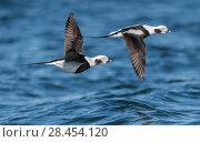 Купить «Long-tailed duck (Clangula hyemalis), males in flight, Finland, April.», фото № 28454120, снято 22 июля 2018 г. (c) Nature Picture Library / Фотобанк Лори