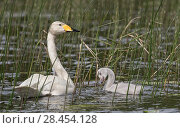 Купить «Whooper Swan (Cygnus cygnus), adult and cygnet amongst  reeds,  Finland, June.», фото № 28454128, снято 17 июля 2018 г. (c) Nature Picture Library / Фотобанк Лори